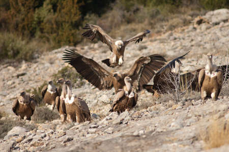 Griffon vultures Gyps fulvus in the Guara mountains.