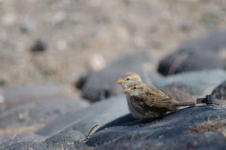 Juveniles Spanish sparrow Passer hispaniolensis in Arinaga.