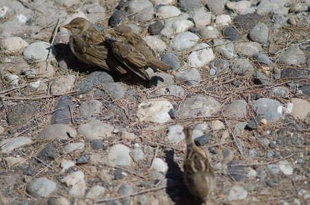 Female Spanish sparrow Passer hispaniolensis with her chicks. Фото со стока