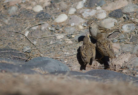 Juveniles Spanish sparrow asking food to his mother.