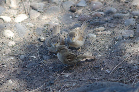 Young Spanish sparrow asking their mother for food. Фото со стока