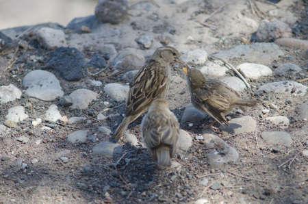 Female Spanish sparrow feeding to her chicks. Фото со стока