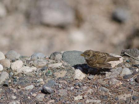 Juvenile Spanish sparrow Passer hispaniolensis in Arinaga.