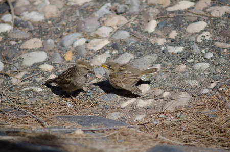 Young Spanish sparrows asking their mother for food.