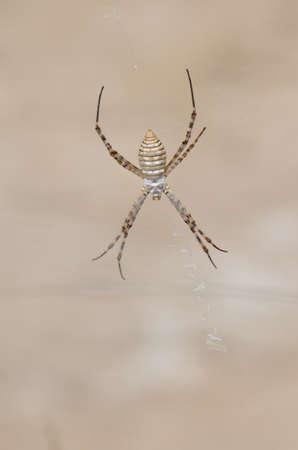 Banded garden spider Argiope trifasciata. Medio Almud. Mogan. Gran Canaria. Canary Islands. Spain.
