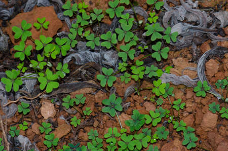 Bermuda buttercup Oxalis pes-caprae in Los Marteles Special Natural Reserve. Valsequillo. Gran Canaria. Canary Islands. Spain.