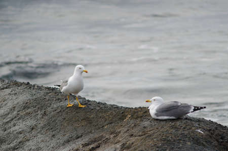 Yellow-legged gulls Larus michahellis atlantis. Playa de Arinaga. Aguimes. Gran Canaria. Canary Islands. Spain. Archivio Fotografico