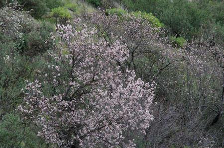 Almond Prunus dulcis in blossom. The Nublo Rural Park. Tejeda. Gran Canaria. Canary Islands. Spain.