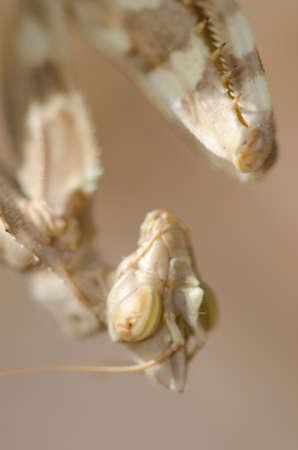 Devils flower mantis Blepharopsis mendica. Cruz de Pajonales. Integral Natural Reserve of Inagua. Tejeda. Gran Canaria. Canary Islands. Spain.