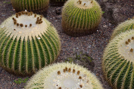 Golden barrel cactus Echinocactus grusonii. Viera y Clavijo Botanical Garden. Tafira. Gran Canaria. Canary Islands. Spain.