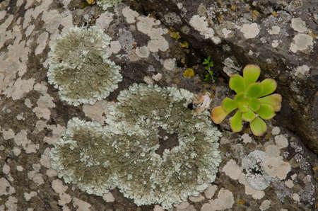 Lichens and plant Aeonium undulatum on a rock. Tafira. Gran Canaria. Canary Islands. Spain.
