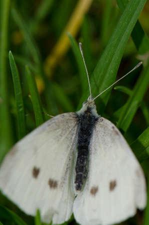 Female small white Pieris rapae. Tafira. Las Palmas de Gran Canaria. Gran Canaria. Canary Islands. Spain. 版權商用圖片