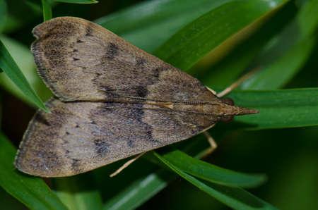 Moth Uresiphita polygonalis on the grass. Tafira. Las Palmas de Gran Canaria. Gran Canaria. Canary Islands. Spain.