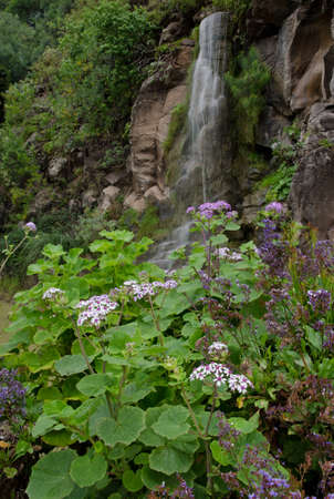 Plant Pericallis webbii in flower and waterfall. Botanical Garden Viera y Clavijo. Gran Canaria. Canary Islands. Spain.