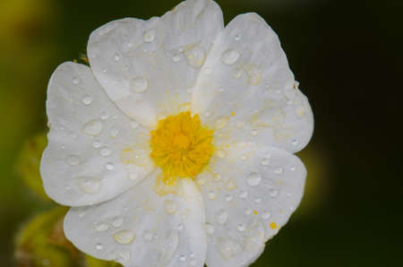 Flower of Montpellier cistus Cistus monspeliensis covered with dew drops. Integral Natural Reserve of Inagua. Gran Canaria. Canary Islands. Spain.