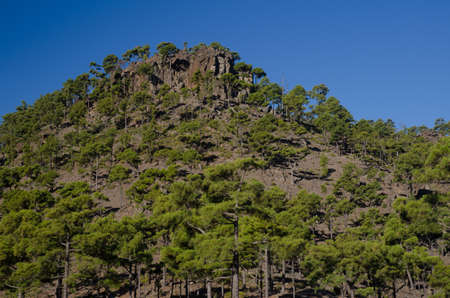 Forest of Canary Island pine Pinus canariensis. Ojeda mountain. Integral Natural Reserve of Inagua. Gran Canaria. Canary Islands. Spain.