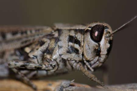 Canarian pincer grasshopper Calliptamus plebeius. Female. Cruz de Pajonales. The Nublo Rural Park. Tejeda. Gran Canaria. Canary Islands. Spain.