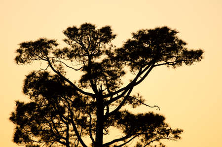 Canary Island pine Pinus canariensis at sunset. The Nublo Rural Park. Tejeda. Gran Canaria. Canary Islands. Spain.