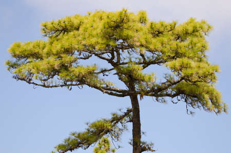 Canary Island pine Pinus canariensis. Integral Natural Reserve of Inagua. Gran Canaria. Canary Islands. Spain. Banco de Imagens