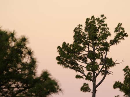 Canary Island pine Pinus canariensis at dawn. Alsandara Mountain. Integral Natural Reserve of Inagua. Tejeda. Gran Canaria. Canary Islands. Spain. Banco de Imagens