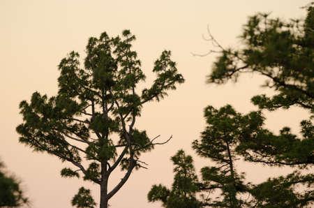 Canary Island pines Pinus canariensis at dawn. Alsandara Mountain. Integral Natural Reserve of Inagua. Tejeda. Gran Canaria. Canary Islands. Spain.
