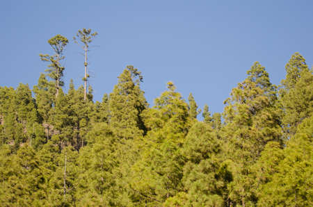 Forest of Canary Island pine Pinus canariensis. Integral Natural Reserve of Inagua. Gran Canaria. Canary Islands. Spain.