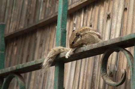 Indian palm squirrel Funambulus palmarum grooming. Old Delhi. Delhi. India.