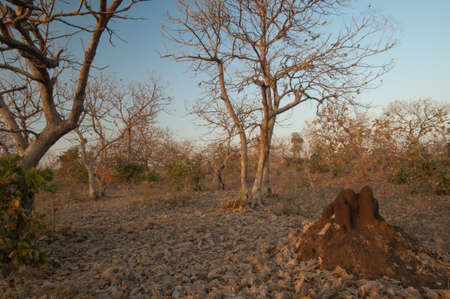 Termite mound and dry deciduous forest. Gir National Park. Gujarat. India.