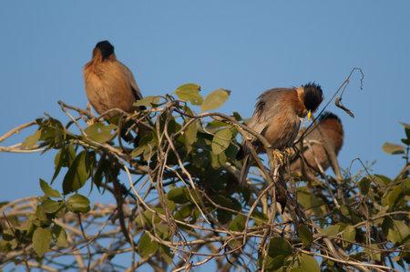 Brahminy starlings Sturnia pagodarum on a shrub. Keoladeo Ghana National Park. Bharatpur. Rajasthan. India.