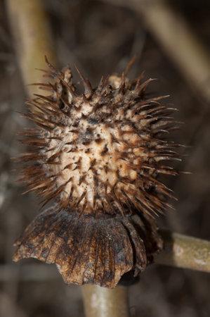Ripe fruit of datura Datura sp. Keoladeo Ghana National Park. Bharatpur. Rajasthan. India.