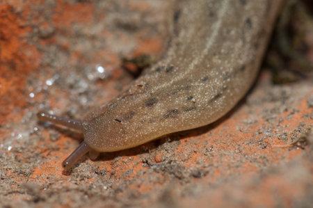 Leatherleaf slug Veronicellidae on the ground. Keoladeo Ghana National Park. Bharatpur. Rajasthan. India.