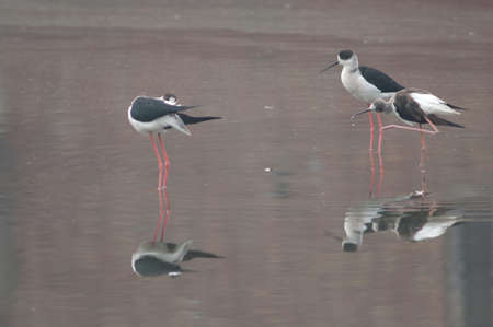 Black-winged stilts Himantopus himantopus on a pond. Bharatpur. Rajasthan. India.