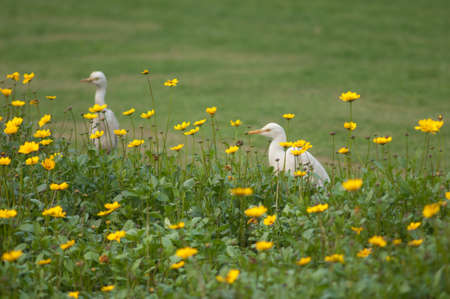 Cattle egrets Bubulcus ibis in the Taj Mahal gardens. Agra. Uttar Pradesh. India.
