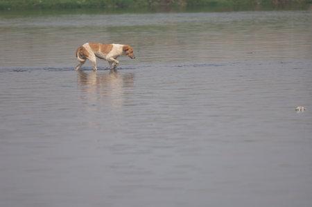 Wild dog Canis lupus familiaris walking in the Yamuna River. Agra. Uttar Pradesh. India.