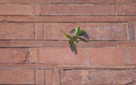 Pair of rose-ringed parakeets Psittacula krameri flying. Male at the top and female at the bottom. Agra. Uttar Pradesh. India.