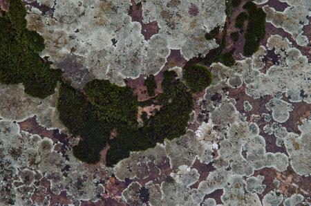 Lichens Caloplaca carphinea and moss. Monfrague National Park. Caceres. Extremadura. Spain.