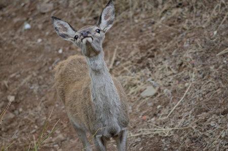 Young Spanish red deer Cervus elaphus hispanicus smelling. Monfrague National Park. Caceres. Extremadura. Spain.