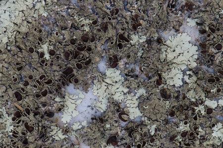 Lichen Physcia tribacia on a rock. Monfrague National Park. Caceres. Extremadura. Spain.