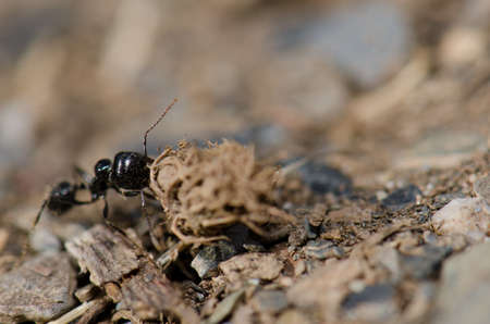 Ant carrying plant remains in the Monfrague National Park. Caceres. Extremadura. Spain. Reklamní fotografie