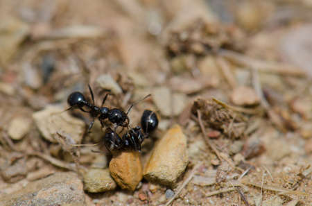 Ant next to a dead specimen. Monfrague National Park. Caceres. Extremadura. Spain. Reklamní fotografie