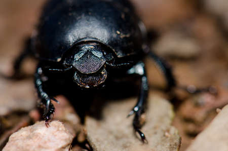 Scarab in the Monfrague National Park. Caceres. Extremadura. Spain. Stock Photo