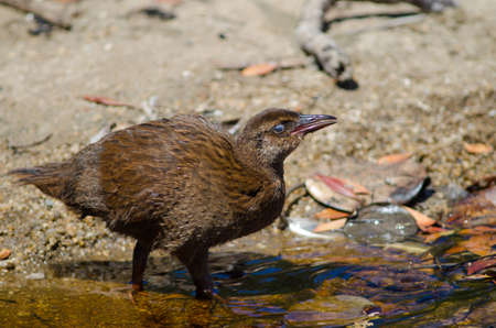Steward Island weka Gallirallus australis scotti. Juvenile drinking water. Boulder Beach. Ulva Island. Rakiura National Park. New Zealand.