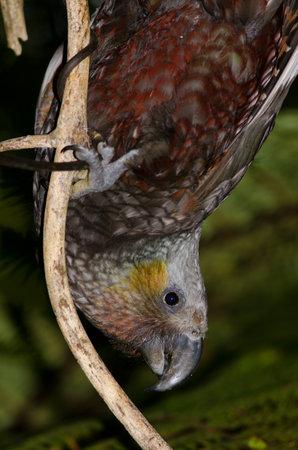 South Island kaka Nestor meridionalis. Ulva Island. Rakiura National Park. New Zealand.