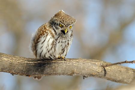 Crying Pygmy Owl Glaucidium passerinum in spring. Moscow region, Russia