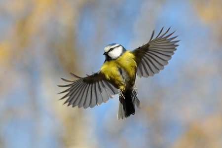 blue tit: Frontal veiw of flying Blue Tit with open wings againsth the bright autumn background.