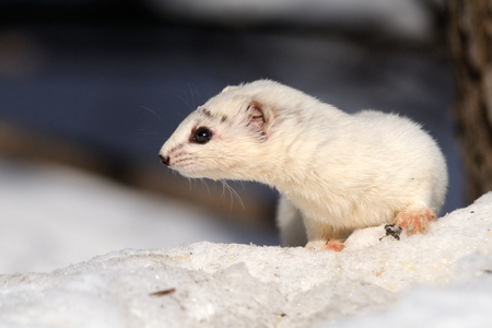 March Least Weasel is changing his fur. It is not so pure white now and the beast is much more careful because of it is more visible on the snow.