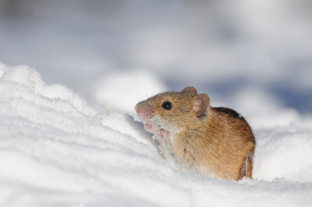 mouse hole: Striped Field Mouse came out of the snow hole seeking for the occasional sunny rays in Moscow park, Russia.