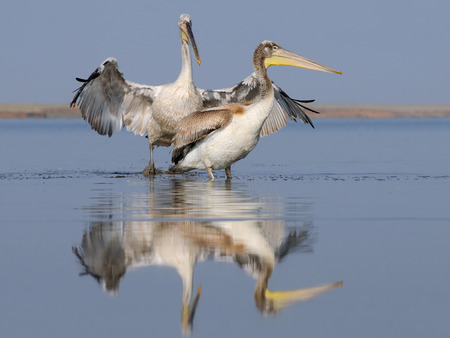 shallow: Adult and young Dalmatian Pelicans early morning at shallow water Stock Photo
