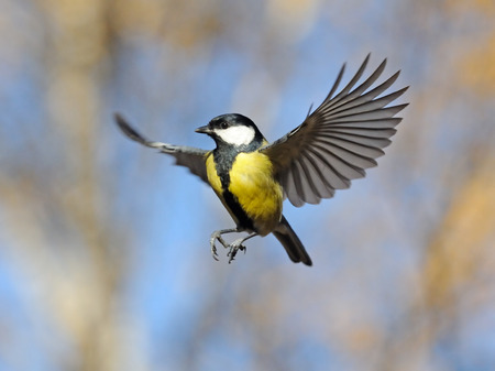 Autumn flight of the Great Tit Parus major at blue sky background