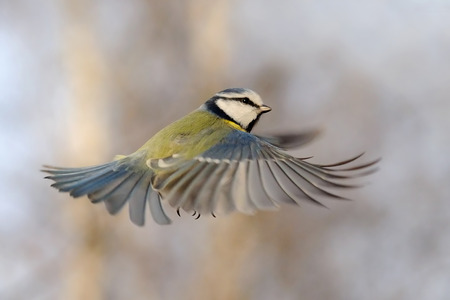 swift: Blue Tit Parus caeruleus flying at autumn background Stock Photo